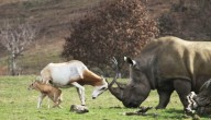 Antilope en neushoorn