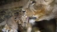 Leeuwenwelpjes in dierenpark Emmen