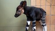 Okapi geboren