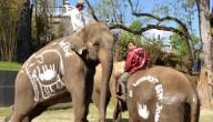 Zwangere olifant
