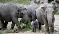 Drie olifanten zwanger