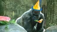 Oudste gorilla