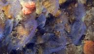 paarse kokerworm