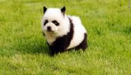 panda of hond
