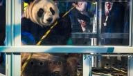 panda's in Nederland