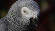 Papegaai spreekt Spaans