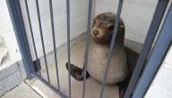 zeeleeuw in toilet