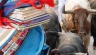 schoolboeken versus stierenrennen