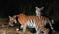 Zeldzame tijgers Thailand