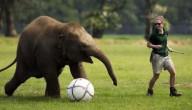 voetballende olifant