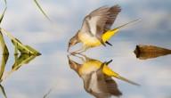 vogels kijken in de spiegel