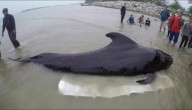 Walvis gestorven met 80 plastic zakken in maag