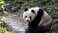 Wilde panda