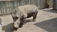 witte neushoorn bedreigd