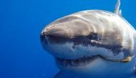 Witte haai met uitsterven bedreigd