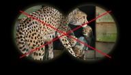 Cheetah in Burgers' Zoo