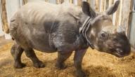 zwangere neushoorn