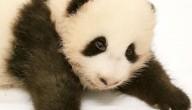 babypanda zoekt een naam