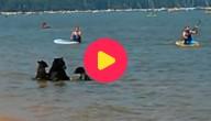 Beren zwemmen tussen de mensen