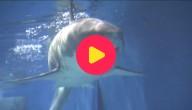 Witte haai Japan