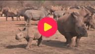 Neushoorns Zuid-Afrika