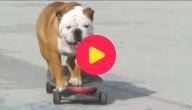 Skateboard hond