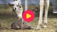 Girafje geboren
