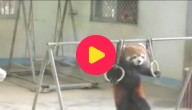 Turnende rode panda
