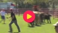 lopen met stieren