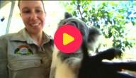 koala knuffelen