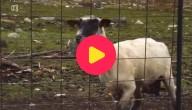 schaap maakt rare geluiden