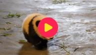 Panda valt