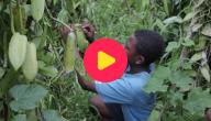Vanilleplantages in Madagaskar