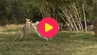 Vechtende kangoeroes