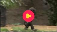 Verjaardag baby-gorilla