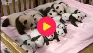 14 reuzenpanda's geboren
