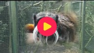aapjes gestolen