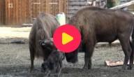 Baby bizon