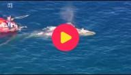 grijze walvis