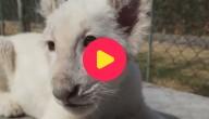 Wit leeuwtje
