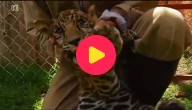 jaguarwelp