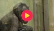 chimpansee judy