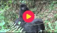 Gorilla's spelen