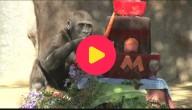 Gorilla is jarig