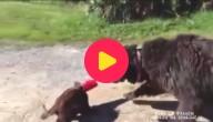 Hond redt kat