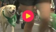 hond loopt