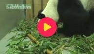 Reuzenpanda krijgt kleintje