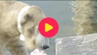 ijsbeer met halsband