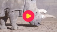 Zeldzame neushoorn