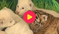 Leeuwtjes en tijger